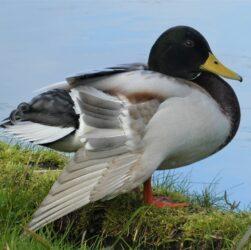 Duck Mallard Bird Waterfowl  - Elsemargriet / Pixabay