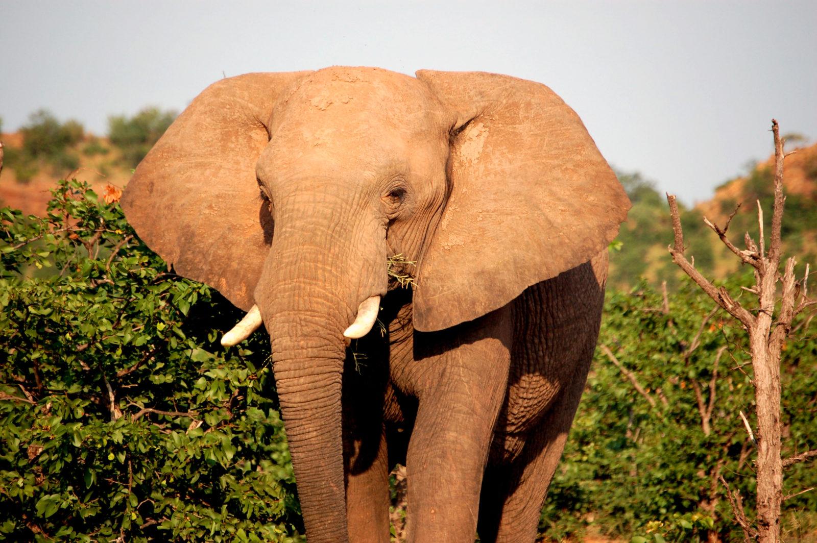 Slon, Safari, Botswana