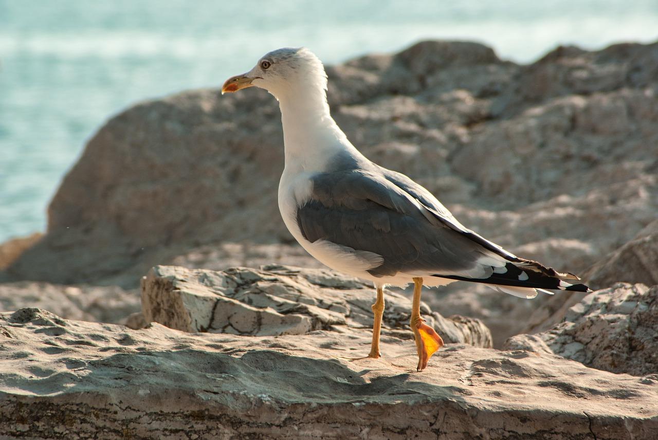 Seagull Rocky Coast Rovinj Croatia