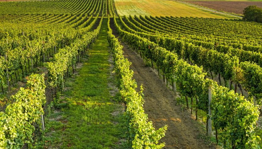 Wine Vineyard Landscape Grapes  - jindrabuzek / Pixabay